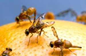FRUIT FLIES CELEBRATIING ATHOL'S ANNUAL FRUIT FLY DAY