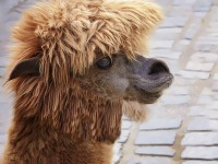 BEST HAIR FOR AN ALPACA