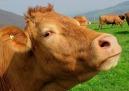 HENRIETTA HUPHUP COW