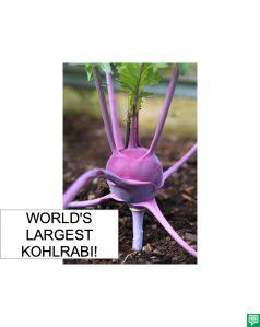 WORLD'S LARGEST KOLHRABI