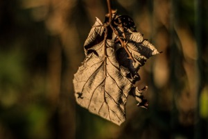 DRIED LEAF