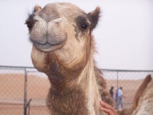 MOST EXPRESSIVE CAMEL