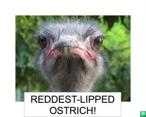 REDDEST LIPPED OSTRICH