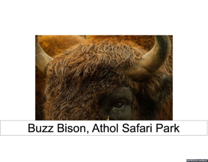 buzz-bison-red-hair