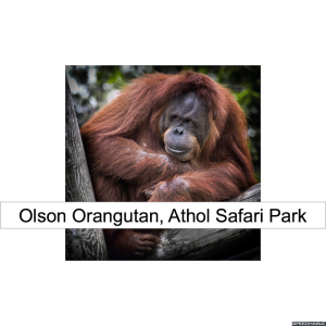 olson-orangutan-red-hair