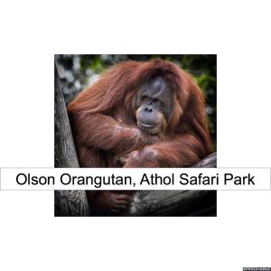 olson-orangutan-red-hair